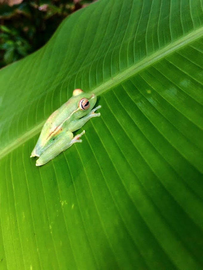 gallo-scarlet-webbed-tree-frog-web